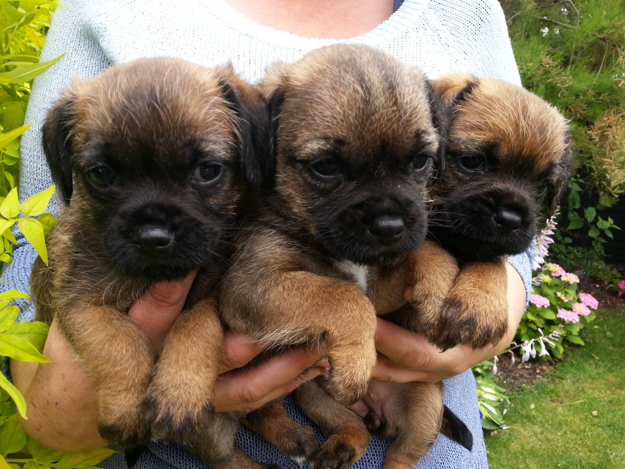 Portfolio | East Anglia Border Terrier Club | Border Terrier Puppies For Sale In Uk